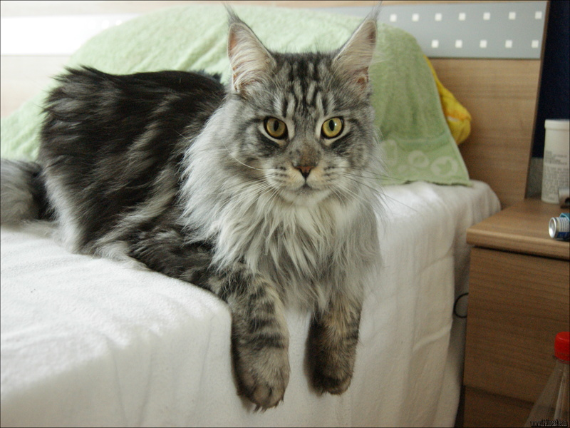 maine-coons-for-adoption The Do This, Get That Guide On Maine Coons For Adoption