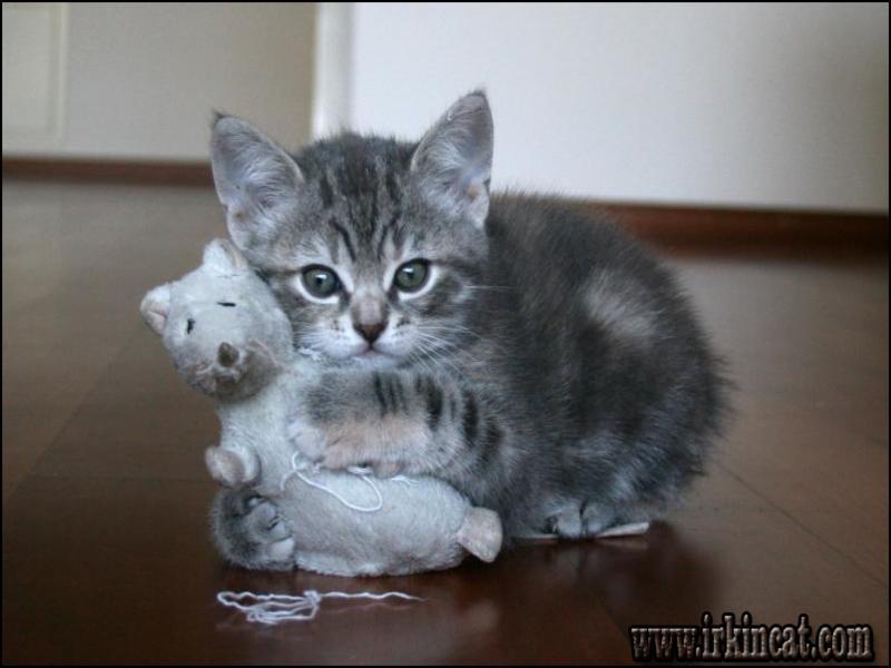 manx-kittens-for-adoption Understanding Manx Kittens For Adoption