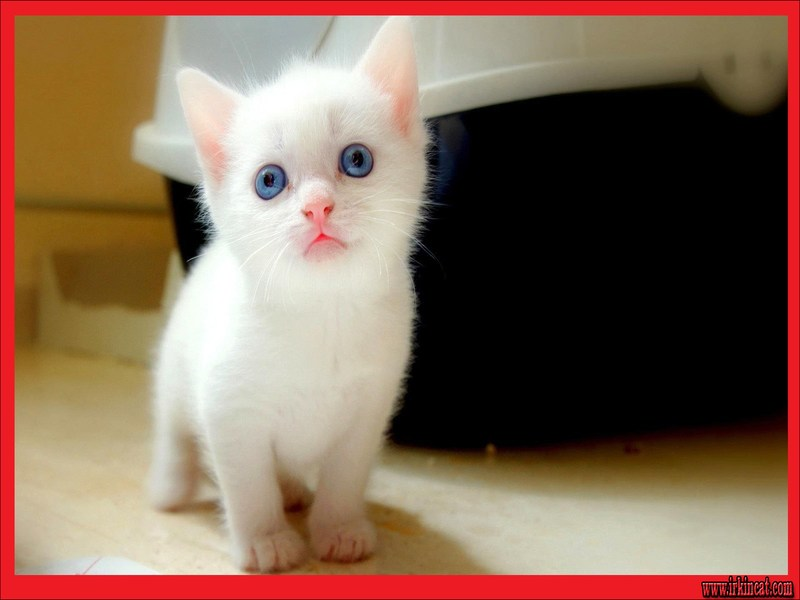 cute-white-kittens Everything You've Ever Wanted to Know About Cute White Kittens