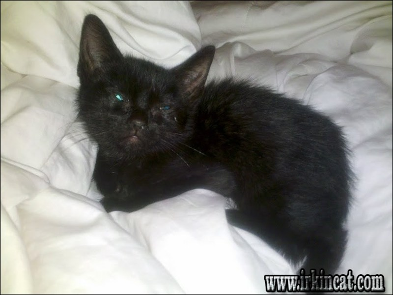 fading-kitten-syndrome-12-weeks How to Treat Make the of Their Fading Kitten Syndrome 12 Weeks