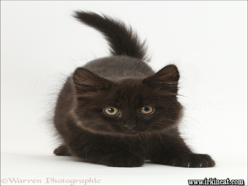 fluffy-black-kitten Fluffy Black Kitten: All the Stats, Facts, and Data You'll Ever Need to Know