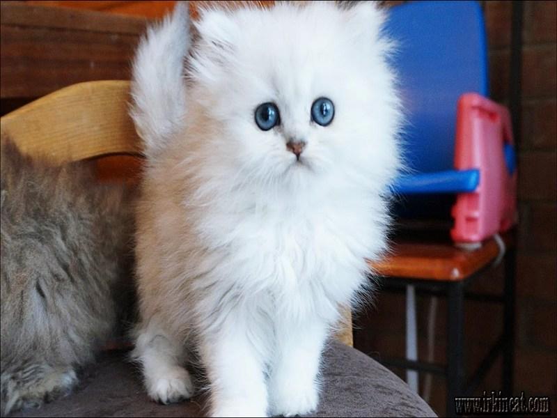 fluffy-white-kitten Fluffy White Kitten: Expectations vs. Reality