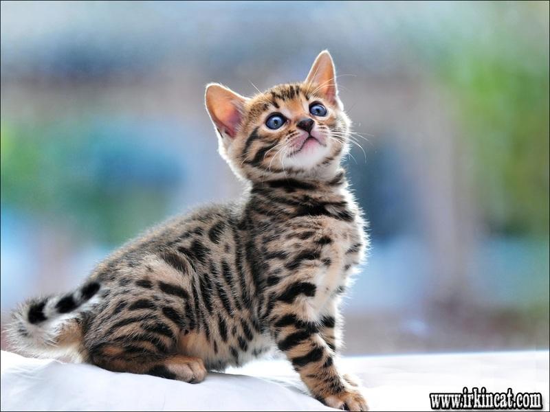 free-bengal-kittens Free Bengal Kittens Fundamentals Explained