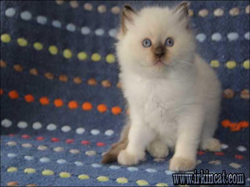 free-ragdoll-kittens-michigan The Best Kept Secrets About Free Ragdoll Kittens Michigan