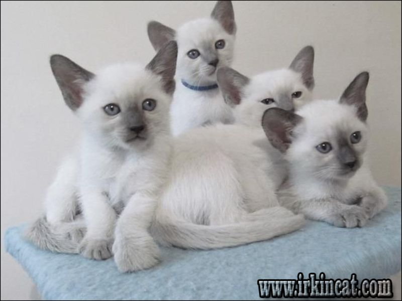 free-siamese-kittens-michigan The Most Myths About Free Siamese Kittens Michigan