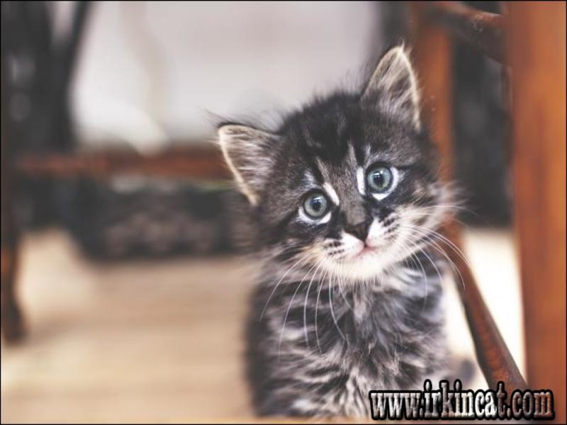 grey-and-white-kitten-names 10 Ideas Grey And White Kitten Names