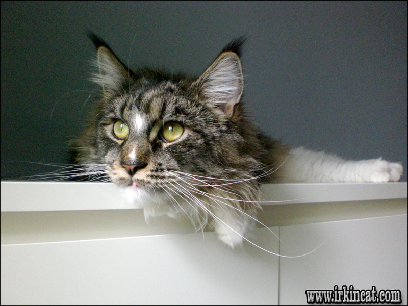 how-much-are-maine-coon-kittens What You Should Do About How Much Are Maine Coon Kittens Starting in the Next 7 Minutes