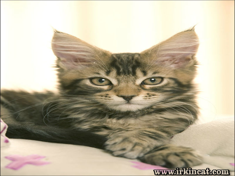 how-to-identify-a-maine-coon-kitten How To Identify A Maine Coon Kitten