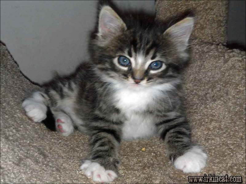 maine-coon-kittens-florida-adoption What You Can Do About Maine Coon Kittens Florida Adoption Starting in the Next 15 Minutes