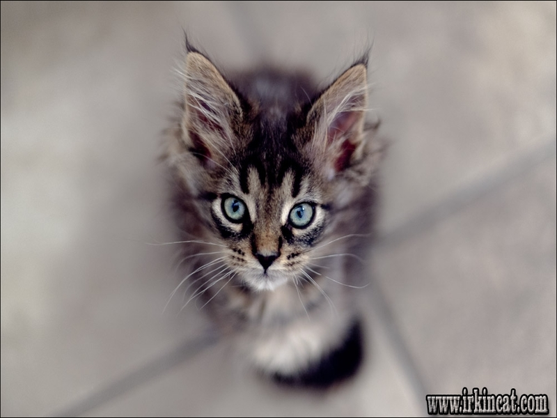 maine-coon-kittens-grand-rapids-mi The Insider Secret on Maine Coon Kittens Grand Rapids Mi Uncovered