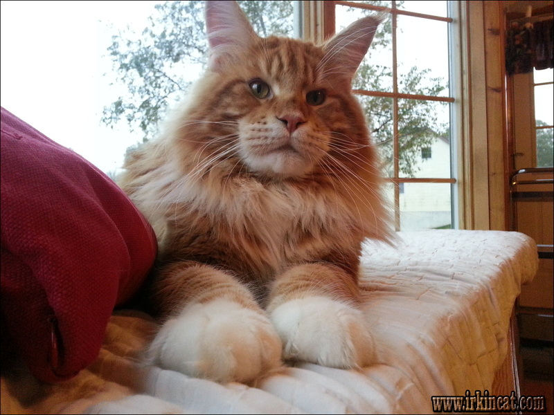 maine-coon-kittens-maryland Maine Coon Kittens Maryland: Expectations vs. Reality