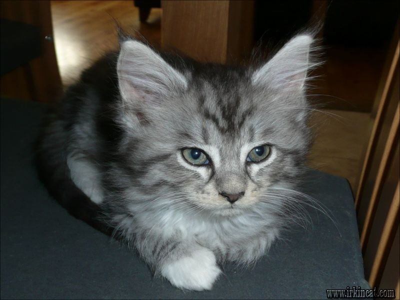 maine-coon-kittens-ohio-for-adoption How to Explain Maine Coon Kittens Ohio For Adoption to Your Boss