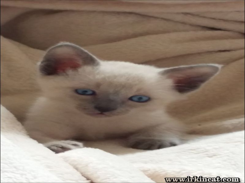 male-siamese-kitten The Indisputable Truth About Male Siamese Kitten That No One Is Telling You