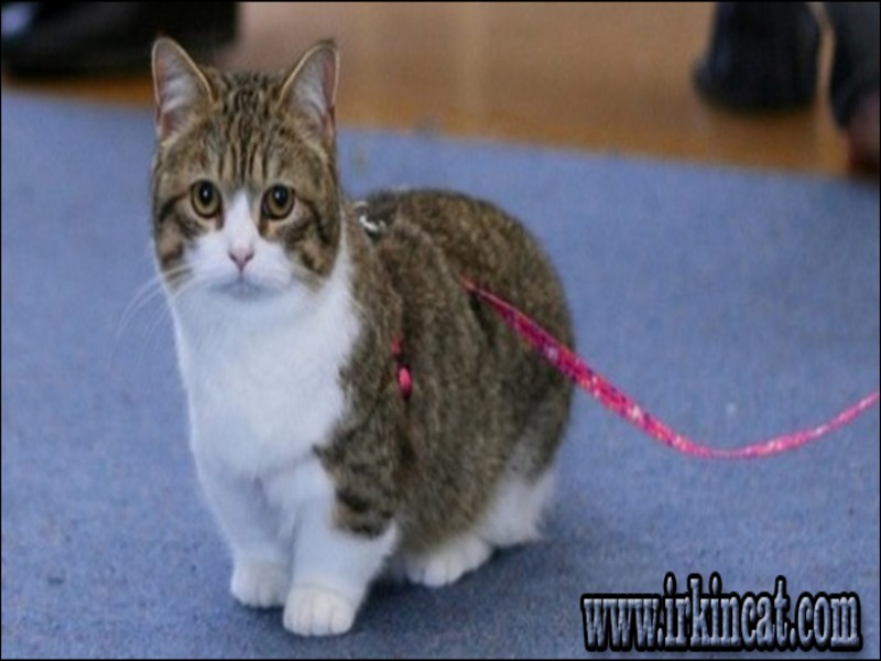 munchkin-kitten-breeders Here's What I Know About Munchkin Kitten Breeders