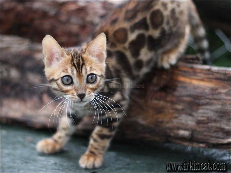 new-era-bengal-kittens A Review of New Era Bengal Kittens