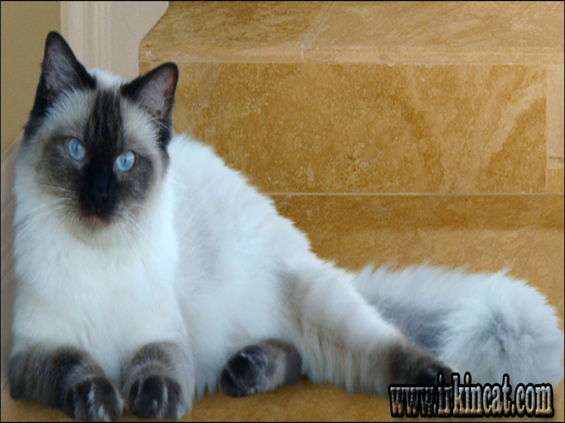ragdoll-kitten-advice Notes on Ragdoll Kitten Advice in an Easy to Follow Manner