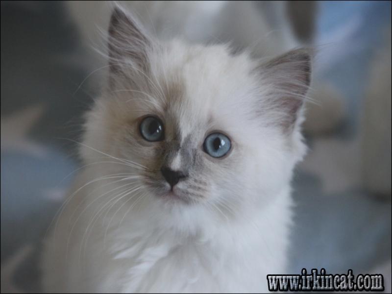 ragdoll-kitten-indiana Ragdoll Kitten Indiana Fundamentals Explained
