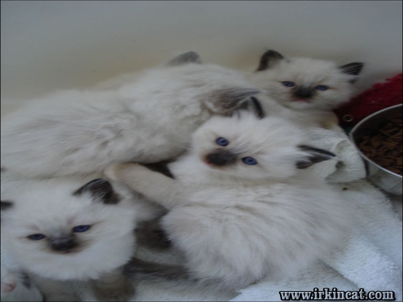 ragdoll-kittens-greenville-sc The Biggest Myth About Ragdoll Kittens Greenville Sc Exposed