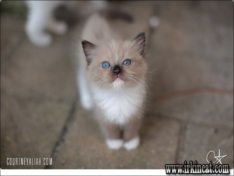 ragdoll-kittens-myrtle-beach-sc The Top Reasons People Succeed in the Finding Of Ragdoll Kittens Myrtle Beach Sc
