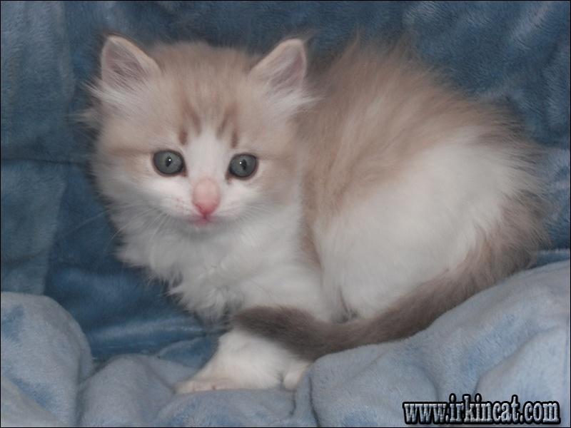 ragdoll-kittens-omaha Ragdoll Kittens Omaha: Expectations vs. Reality