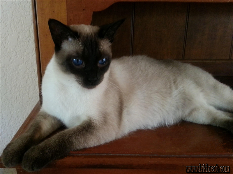 siamese-kittens-for-adoption-in-illinois The Siamese Kittens For Adoption In Illinois Case Study You'll Never Forget