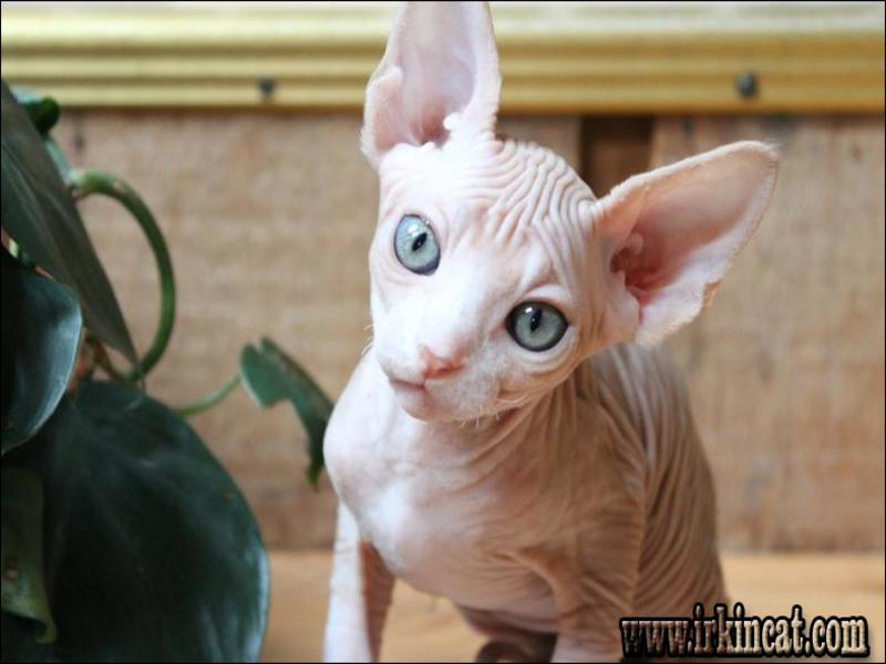 Things You Should Know About Photo Sphynx Kittens Craigslist