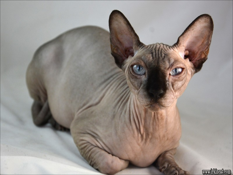 The Worst Advice We've Ever Heard About Sphynx Kittens For Adoption
